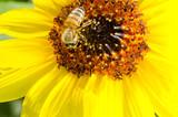 Fototapeta girasole - słonecznik - Kwiat