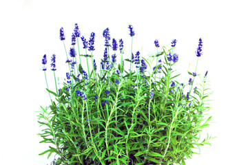 lavendel light