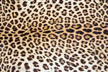 Tygrys futra 01