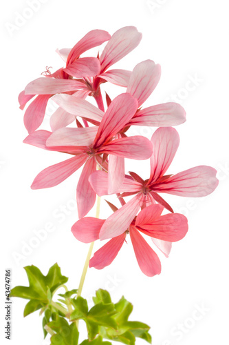 Geranium (Pelargonium peltatum) isolated on white background