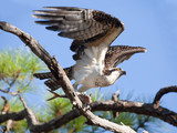 Osprey Taking Flight with Fish in Talons poster