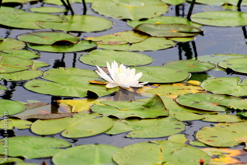 Perfect White Pond Lily