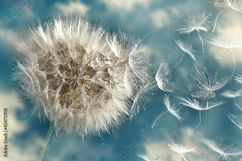 Sticker Dandelion Loosing Seeds in the Wind