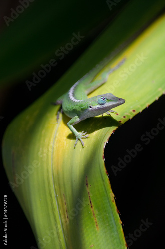 Green Anole on ti plant near Opaekaa falls