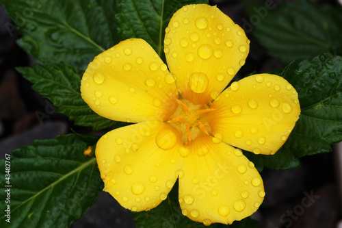 canvas print picture GELBE_BLUETE_108_turnera_ulmifolia