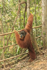 Orangutan (Pongo abelii), Sumatra, Indonesia