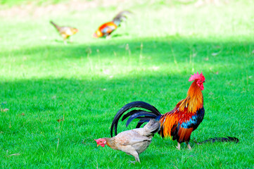 colorful of the bantam in the green field , Thailand