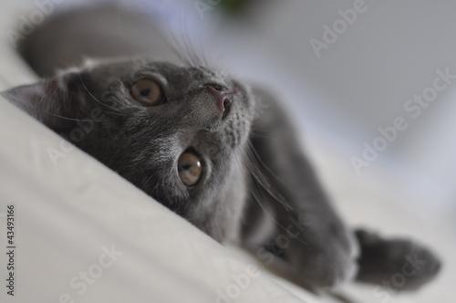 beautiful grey kitten © morena