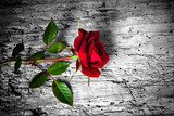 Fototapety rosa rossa su fondo b/n