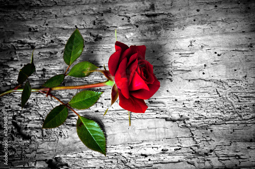 rosa rossa su fondo b/n - 43494940