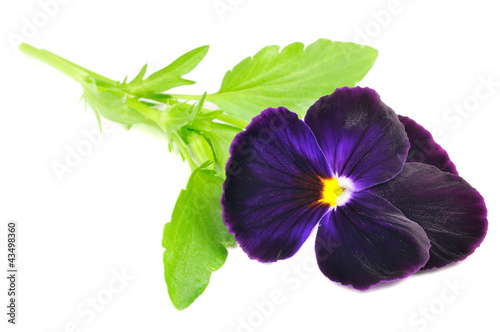 Canvas Pansies Purple Pansy Violet Flower Isolated on White Background