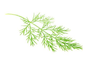 Green Southernwood (Artemisia Abrotanum) Branch