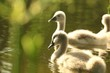 Family of young swans in a forest pond