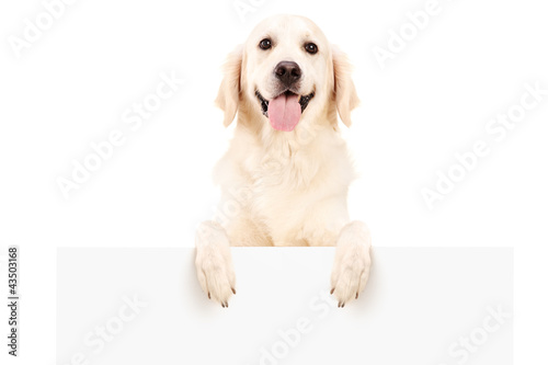 Retriever dog standing behind white panel