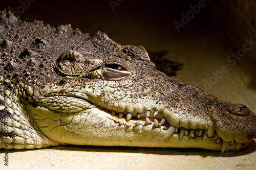 American alligator portrait in the zoo