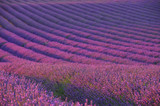 Fototapety Lavendelfeld - lavender field 04