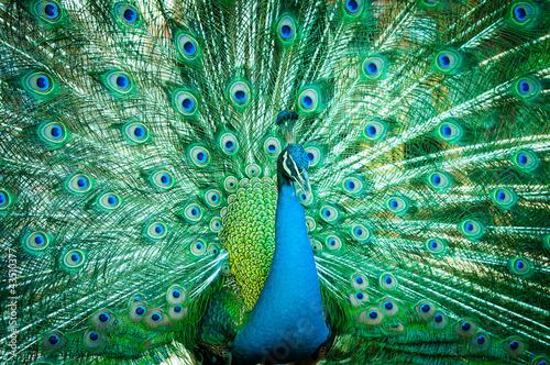 Zdjęcia na płótnie, fototapety na wymiar, obrazy na ścianę : Portrait of peacock with feathers out