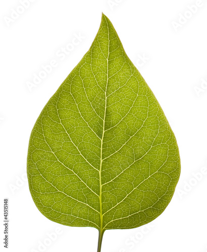 Chokeberry leaf