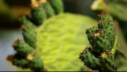 Prickly pear green cactus plant