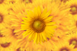 Detaily fotografie Sunflower background