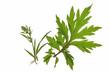 Beifuss Artemisia vulgaris