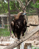 an eagle at the zoo