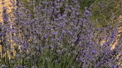 Lavender near to Sault in Provence