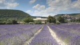 A field of lavender near to Banon in Provence