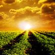 Tomato field and sun