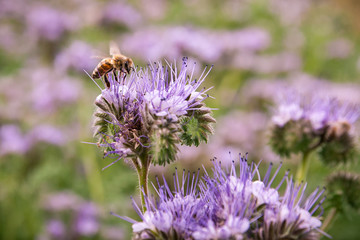 Bee on a phacelia field