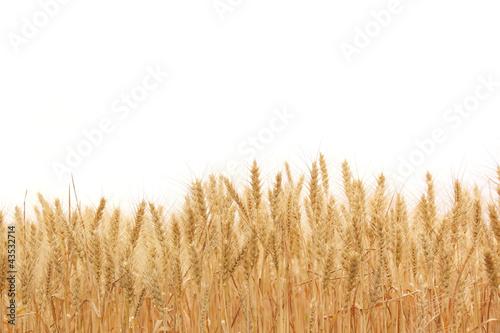 Leinwanddruck Bild Wheat field