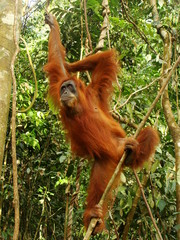 Female orangutan hanging in tree (Pongo abelii), Sumatra