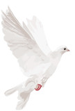 white isolated dove illustration
