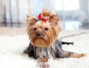 puppy yorkshire terrier indoor