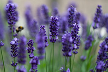 fleurs lavande