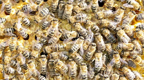 Honeybees working