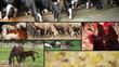 Farm animals multiscreen