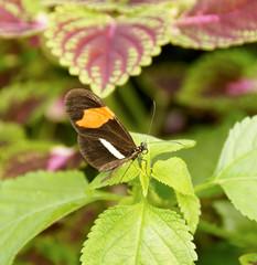 Postman Butterfly in Garden