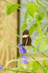 Postman Butterfly on Purple Flowers
