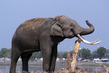 An elephant rubs its tusks againt a tree trunk by a river poster
