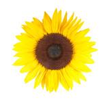 Fototapety Sonnenblume in voller Blüte– isoliert auf weißem Hintergrund