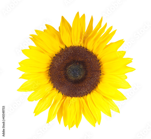 Sonnenblume in voller Blüte– isoliert auf weißem Hintergrund