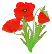 a red poppy flower illustration isolated