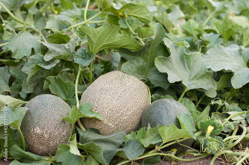 Melons in the garden