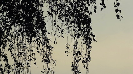 Very calm nature scene. Birch branches at sunset.
