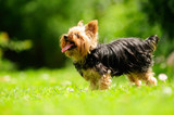 Yorkshire Terrier Dog Sticking Its Tongue Out in the Yard