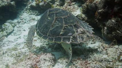 loggerhead turtle filmed underwater whilst in cozumel mexico