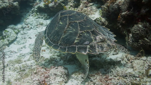 loggerhead turtle filmed underwater whilst in cozumel mexico