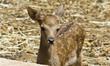 bellissimo cucciolo di cerbiatto,piccolo cervo