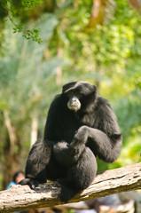 Black Orangutan.